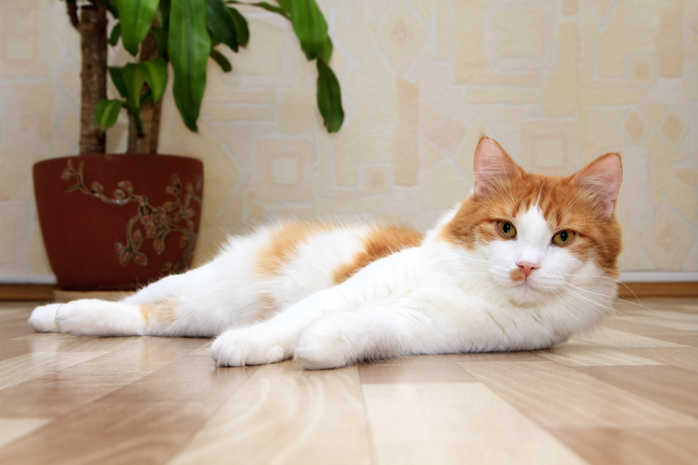 Stomach Ulcers in Cats